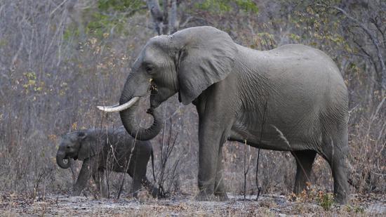 【蜗牛棋牌】津巴布韦男子杀5000多头大象不悔改 被网友痛骂