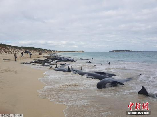 【蜗牛棋牌】冰岛海岸再现大规模搁浅鲸鱼群 搁浅原因仍未解