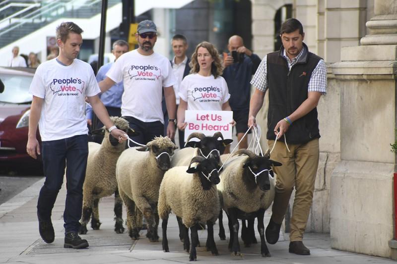 """【蜗牛棋牌】反对脱欧 英国一民间组织""""赶羊上街""""以示抗议"""