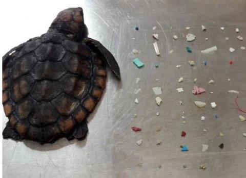 【蜗牛棋牌】海洋污染加剧 美国海龟误食100多块塑料后死亡