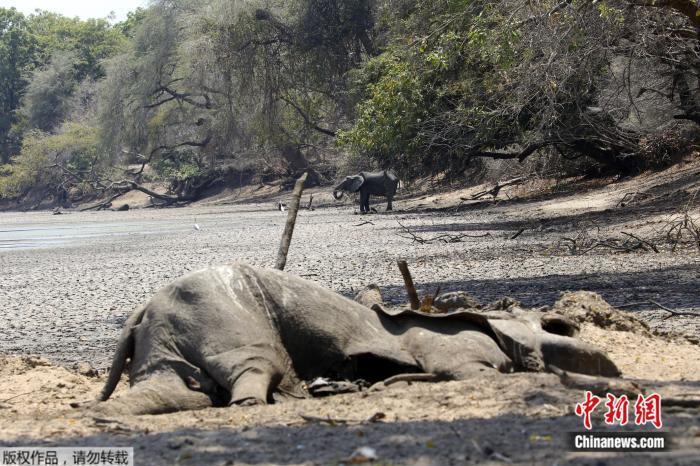 【蜗牛棋牌】津巴布韦遇严重干旱 105头大象因缺水死亡(图)