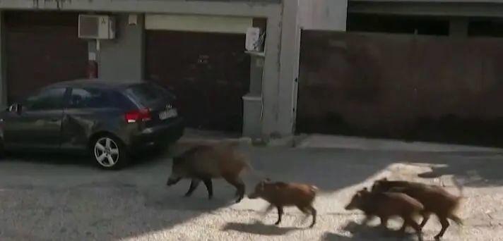 """【蜗牛棋牌】市长选举在即,罗马却突遭野猪""""入侵"""""""